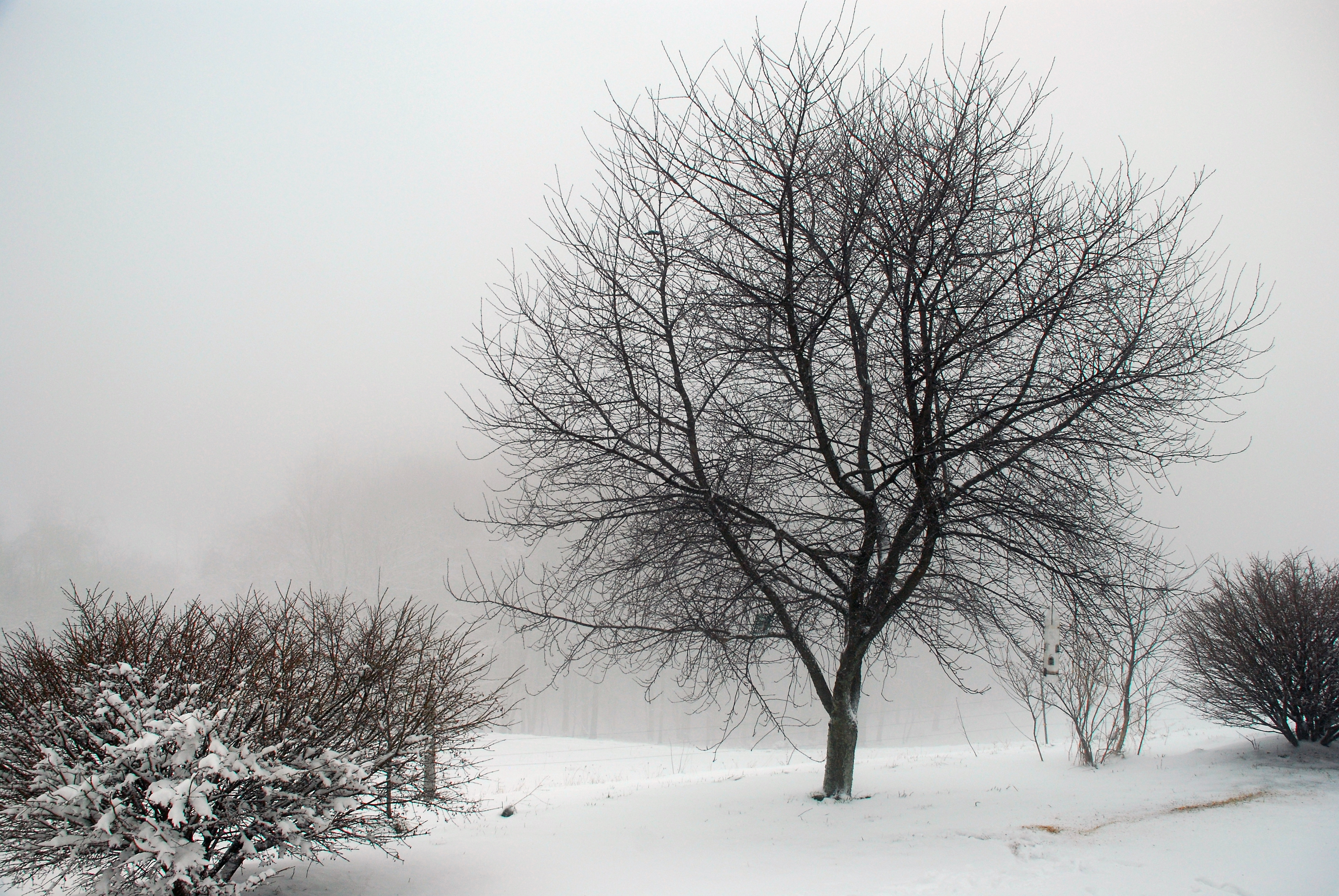 Cherry Tree in the Fog and Snow